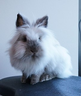 Lionhead rabbit breed of rabbit