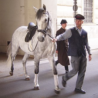 Spanish Riding School - A young stallion on the way from training to the stable