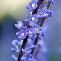 Liriope muscari - Fleurs-4.jpg
