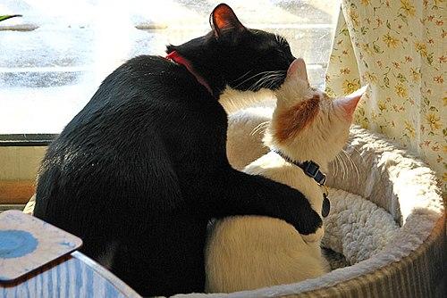 6c2364f31056 Οι γάτες μπορεί να αναπτύξουν φιλικές σχέσεις με άλλες γάτες. Στη  φωτογραφία