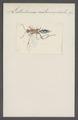 Listrodromus - Print - Iconographia Zoologica - Special Collections University of Amsterdam - UBAINV0274 046 06 0137.tif