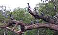 Little Black Cormorants, Shoalhaven River.jpg