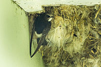 Little Swift at nest - Kakum NP - Ghana 14 S4E2783 (16202810862).jpg