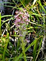 Little elephant's head (Pedicularis attollens) on McGee Pass Trail (3928390612).jpg