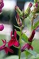 Lobelia cardinalis 1zz.jpg