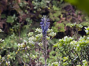 Lobelia hypoleuca - Image: Lobelia hypoleuca (kuhi'aikamo'owahie) in bloom (5121813377)