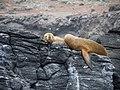 Lobo Marino Reserva Nacional Pinguino de Humboldt 08.jpg