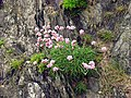 Local Cliff Flora - geograph.org.uk - 14562.jpg