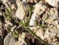 Lomatium nevadense var nevadense 9.jpg