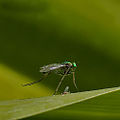 Long-legged-fly.jpg
