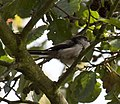 Long tailed tit 3 (3925710829).jpg