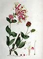 Lonicera periclymenum — Flora Batava — Volume v1.jpg