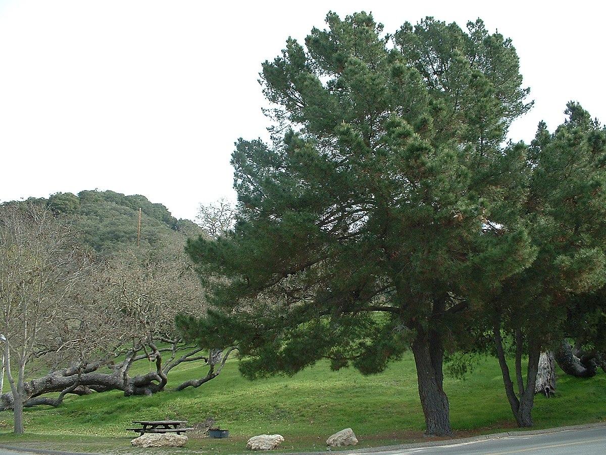 Pinus radiata - Wikipedia, la enciclopedia libre