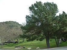 Lopez Lake tree2.jpg