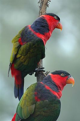 Lorius lory -two on a branch.jpg