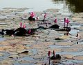 Lotus pool in Satpura Reserve. Nymphaea pubescens Nymphaeaceae.. - Flickr - gailhampshire.jpg
