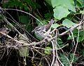 Louisiana Waterthrush. Seiurus motacilla - Flickr - gailhampshire.jpg