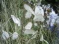 Lunaria annua fruits.jpg