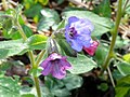 Lungwort (Pulmonaria officinalis) (33628407390).jpg