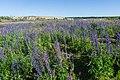 Lupins near Kanneljarvi, Leningrad Oblast, 2019-06-22-1.jpg