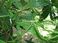 Lygodium circinnatum fertil leaf.jpg