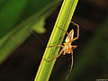 Lynx spider (Oxyopidae- Oxyopes sp.) from Cendrawashi Bay (5356442562).jpg