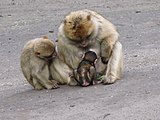 Macaca-sylvanus-barbary-ape-family-0b.jpg
