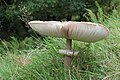 Macrolepiota procera - parasol mushroom.JPG