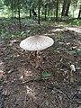 Macrolepiota procera 88226413.jpg
