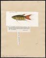 Macropodus viridi-auratus - 1700-1880 - Print - Iconographia Zoologica - Special Collections University of Amsterdam - UBA01 IZ13800011.tif
