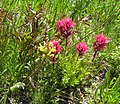 Magenta Castilleja and Pedicularis - Flickr - brewbooks.jpg