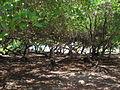 Maglares del parque morrocoy.jpg