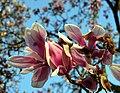 Magnolia (Magnolia) (15).jpg