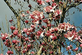 Magnolia Campbellii at Overbecks Garden - geograph.org.uk - 16143.jpg