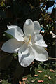 Magnolia grandiflora 3945.jpg