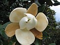 Magnolia grandiflora Little Gem 2zz.jpg