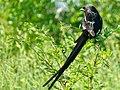 Magpie Shrike (Urolestes melanoleucus) (51135617464).jpg