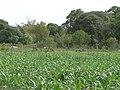 Maiz - panoramio.jpg