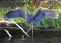 Majestic Heron (7414409388) (2).jpg