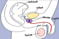Male-reproductive-system-جهاز-تناسلي-ذكري.png