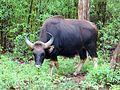 Male Bison.jpg