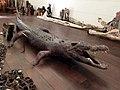 Male Crocodile (48290419611).jpg