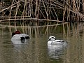 Male Smew and Male Common pochard on the pond - 2.jpg