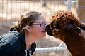 Male alpaca nuzzling a person nose-to-nose.jpg