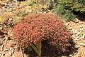 Malta - Ghajnsielem - Comino - Euphorbia melitensis 07 ies.jpg