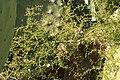 Malta - Mellieha - Triq l-Armier - Asparagus aphyllus 01 ies.jpg