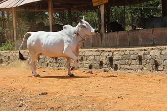 Malvi - Malvi cow