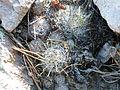 Mamillaria longiflora (5702859654).jpg