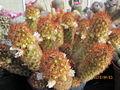 Mammillaria elongata (4507940561).jpg