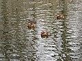 Mandarinenten März 2011 - panoramio.jpg